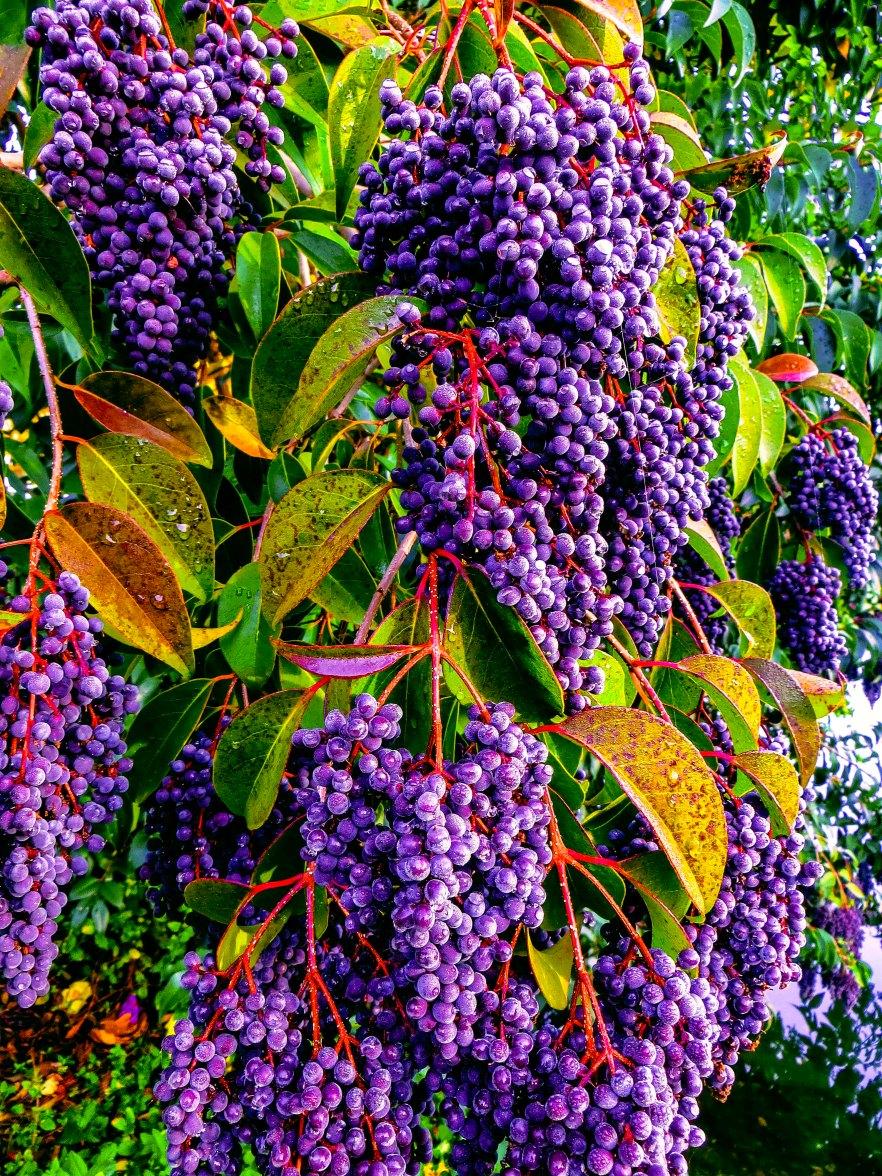 Grapes 3434ththgr.jpg