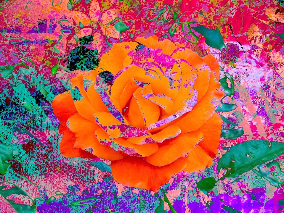 OrangeRose FLW 51816.jpg