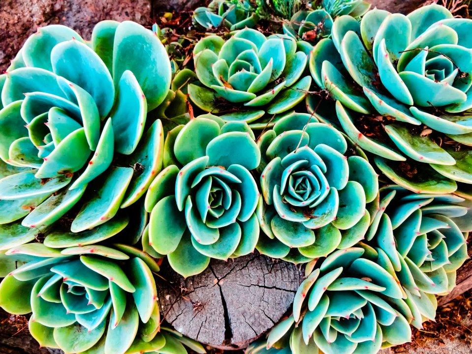 Succulents FLW 1007