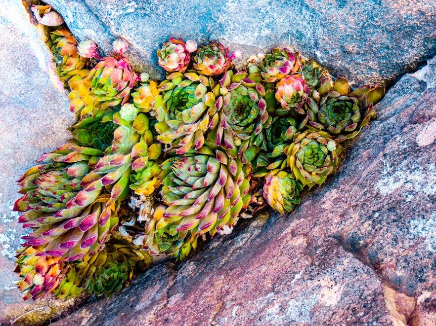 SucculentsCrevice FLW 10010293847 ghbnghgjfg.jpg