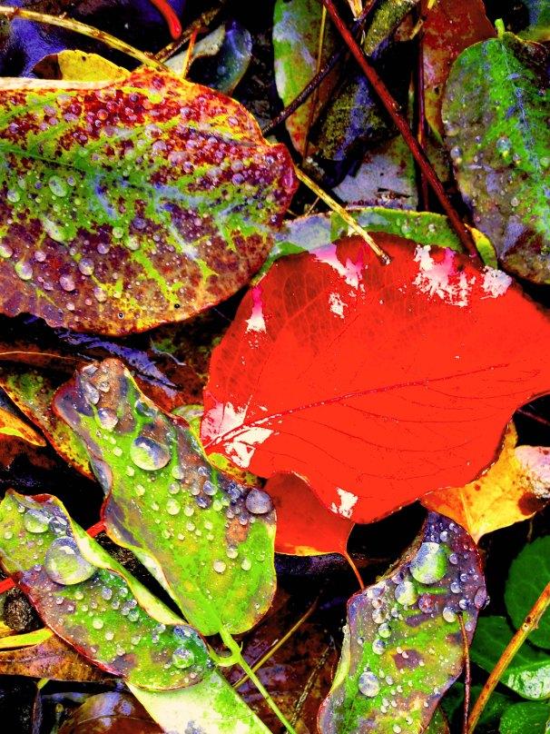 Waterdrops on Leaves FLW 454522aa.jpg