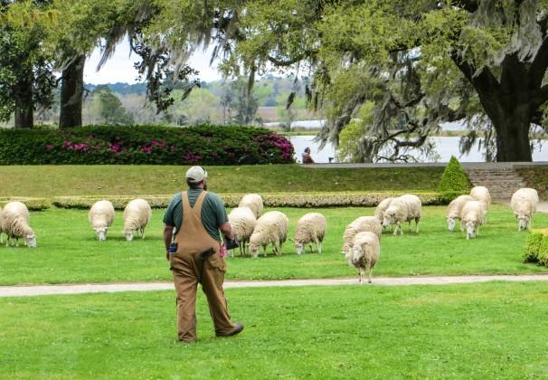 CHS SHEEPHERDER.jpg